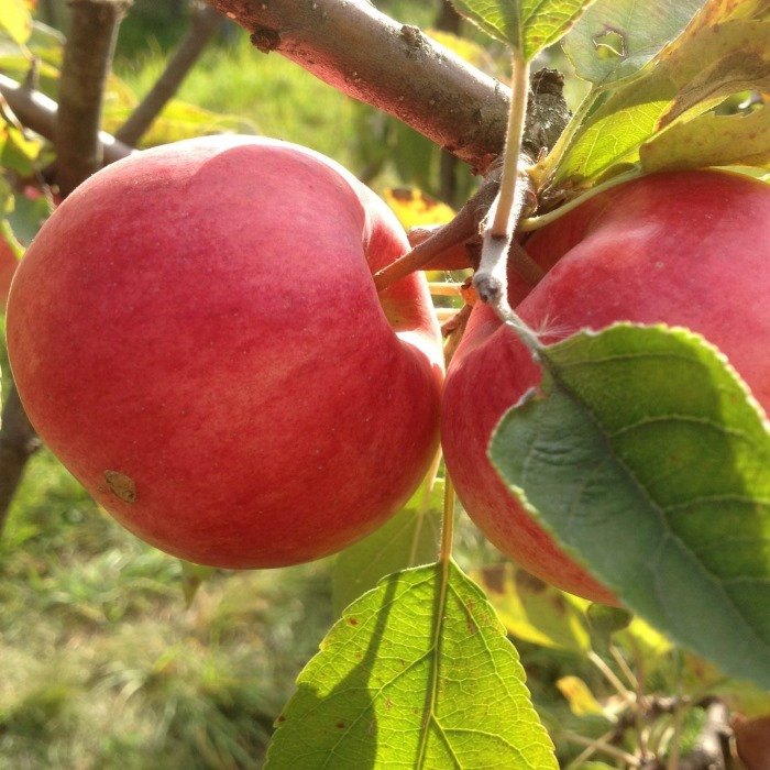 яблоня успенское описание фото отзывы готовых вариантах